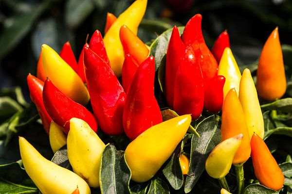 do you eat ornamental peppers