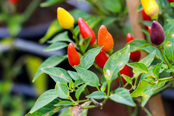 can you eat ornamental thai peppers