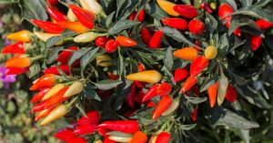 can you eat ornamental peppers