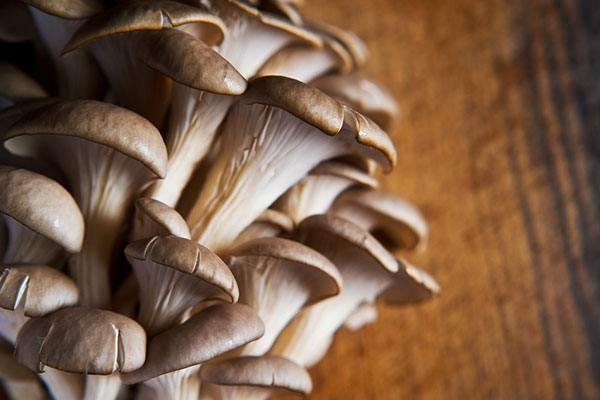 when to harvest pearl oyster mushrooms